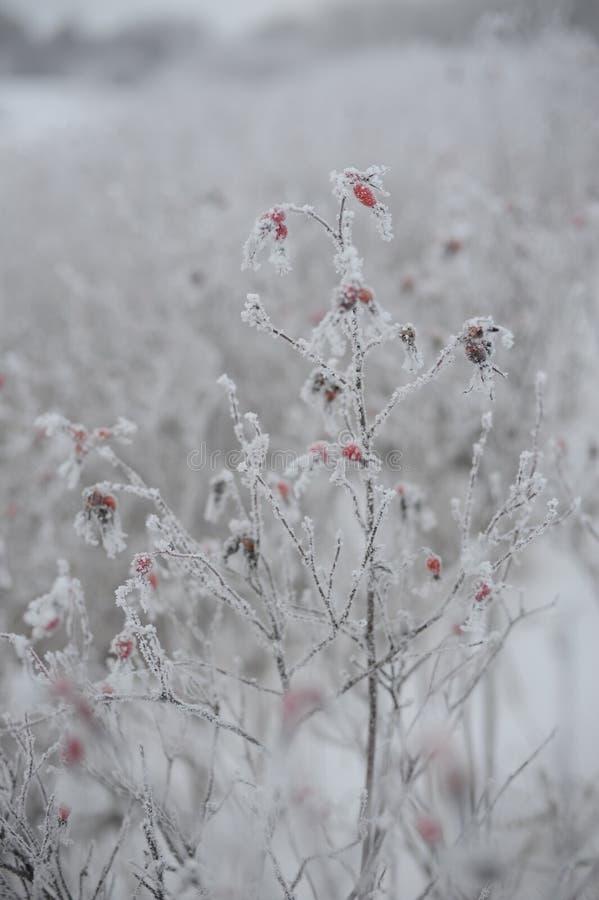 Dogrose由树冰盖了 免版税库存照片