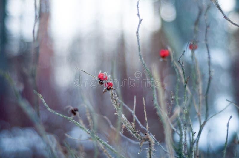 """Dogrose в цветке леса зимы красном поднял одичало  ï¸ """" â снега стоковое фото rf"""