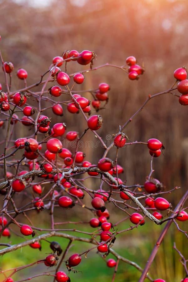 Dogrose в саде стоковое изображение