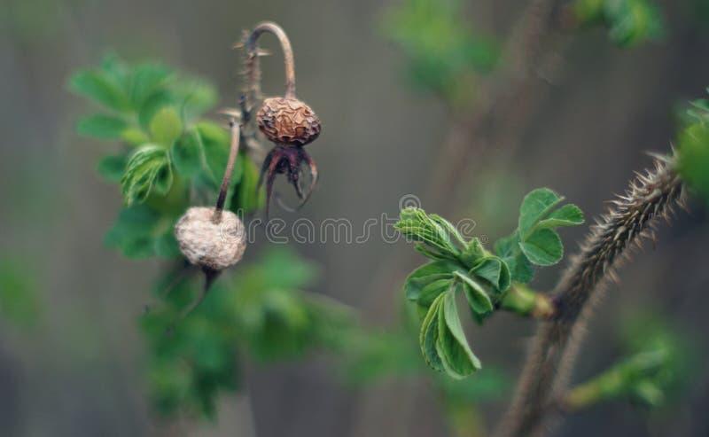 Dogrose image stock