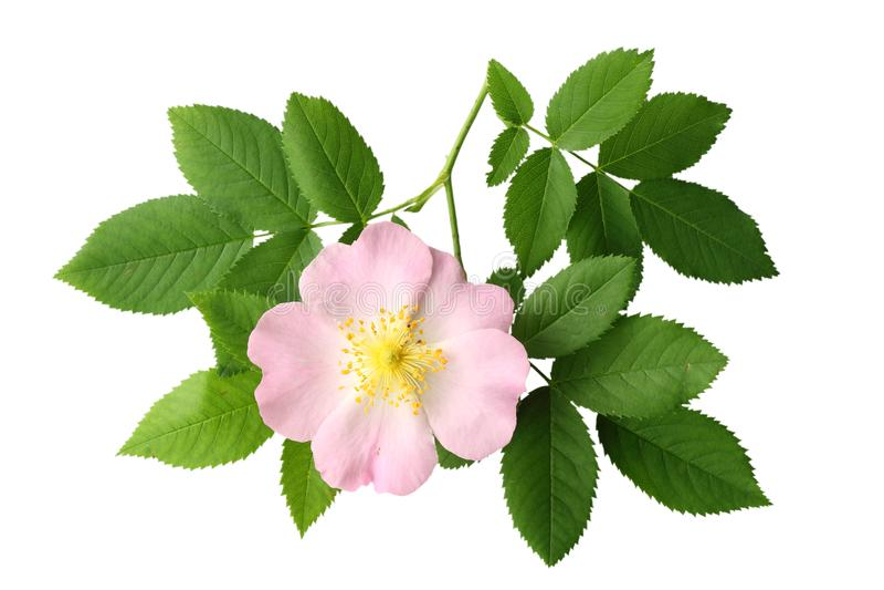 Dogrose-Blume mit dem grünen Blatt lokalisiert auf weißem Hintergrund stockfotos