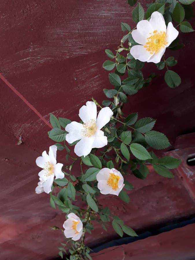 dogrose Blumen lizenzfreie stockbilder