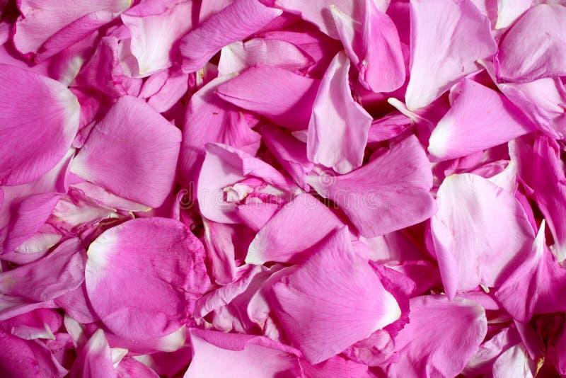 Dogrose-Blumenblatthintergrund stockfotografie