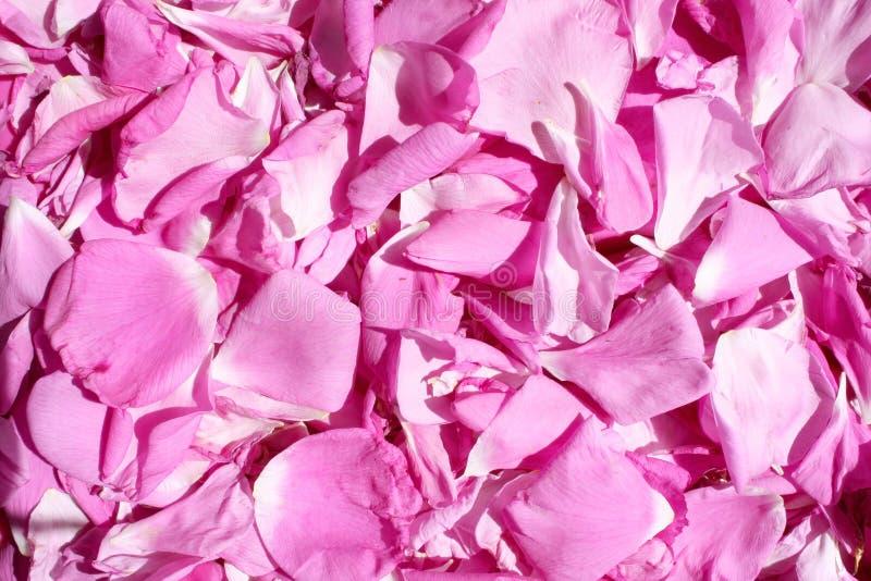 Dogrose-Blumenblatthintergrund stockbilder