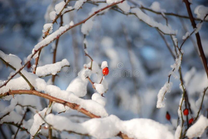 Dogrose en la nieve en la mañana imágenes de archivo libres de regalías