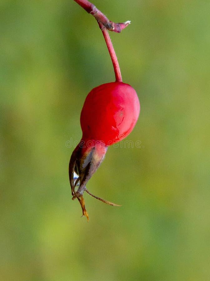 Dogrose-Frucht Helles Rot auf einem grünen undeutlichen Hintergrund stockbilder