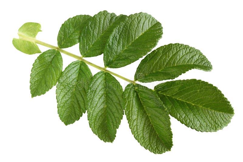 Dogrose Grünes Blatt, lokalisiert auf einem weißen Hintergrund stockfotografie