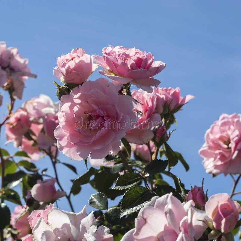 dogrose krzak z ofertą kwitnie kwitnienie i wącha cukierki w letnim dniu zdjęcia stock