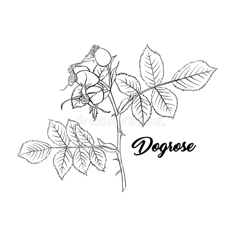 Dogrose or Wild Briar Rose. Rosehip Outline Black Design with Contour. stock illustration
