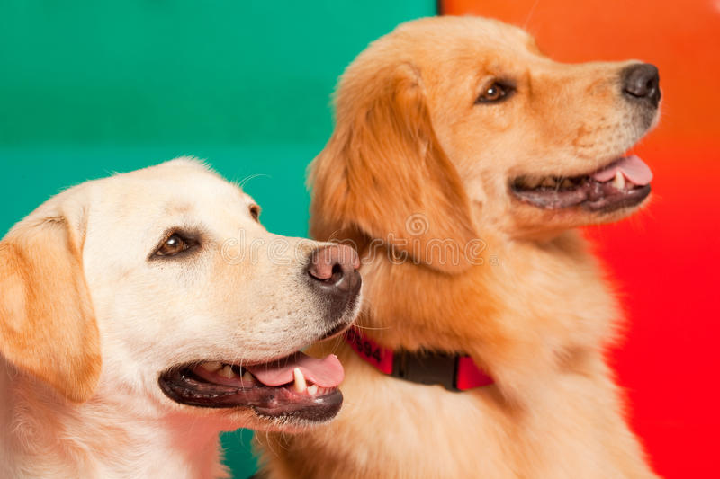Download Dogs stock image. Image of portrait, animal, dogs, golden - 15447547