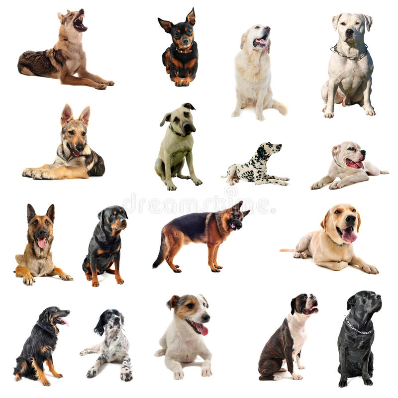 Dogs. Composite picture with purebred dogs in a white background royalty free stock image