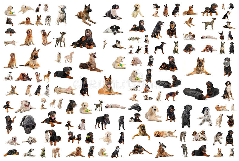 Dogs. Composite picture with purebred dogs in a white background