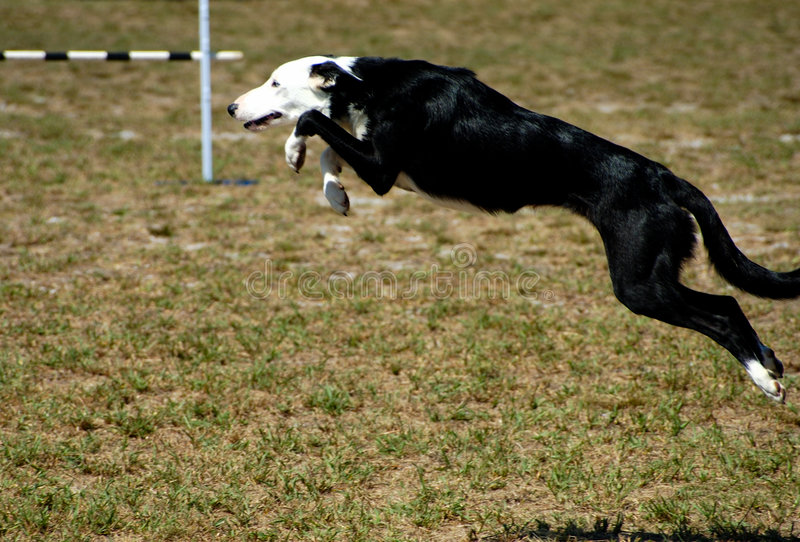Download Dogs 7 stock photo. Image of jump, collar, growl, grass - 93610