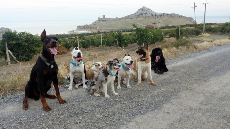 Group of 7 dogs on a mountain road royalty free stock image
