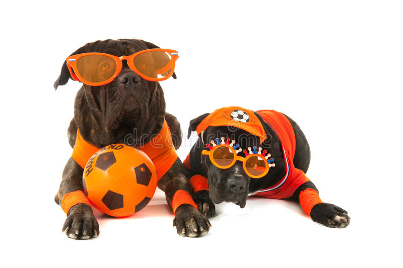 Dogs as Dutch soccer supporters. Dogs with Dutch colors and orange sweaters as sports fan isolated over white background royalty free stock images
