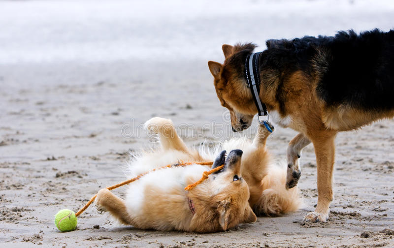 Dogs on the beach. Two dogs playing on the beach