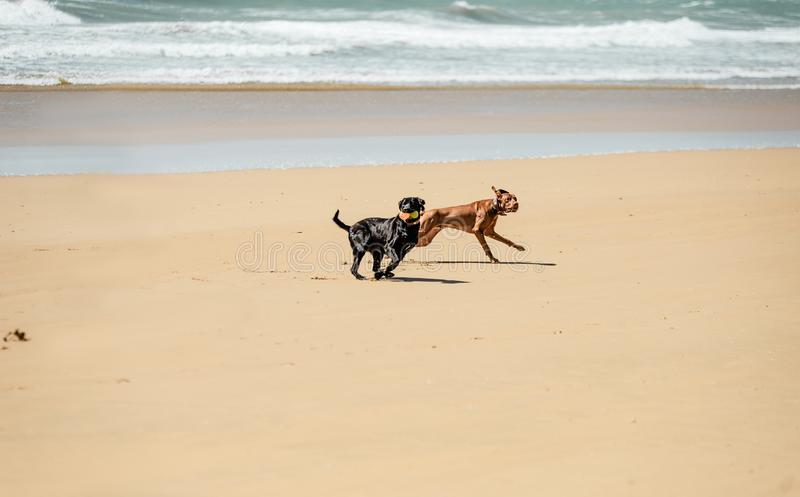 Dogs playing on the beach. Dogs on the beach. Black and brown labradors playing with ball near ocean. Dogs running along the seashore royalty free stock image
