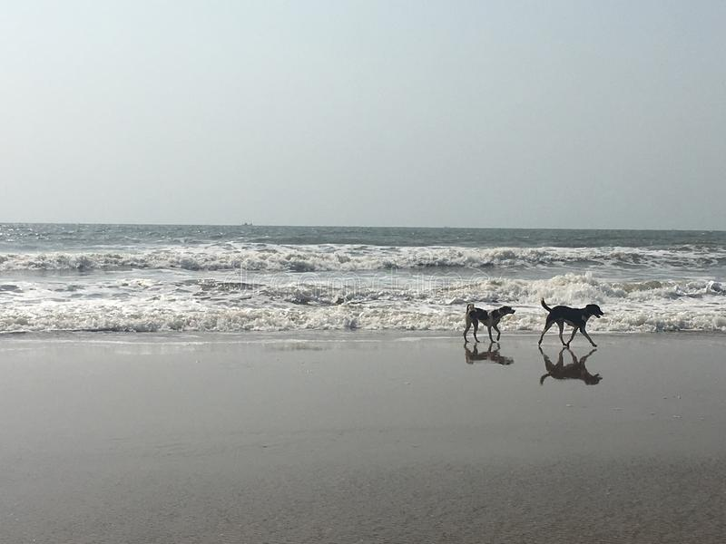 Dogs on beach. Dogs walking on the beach royalty free stock images