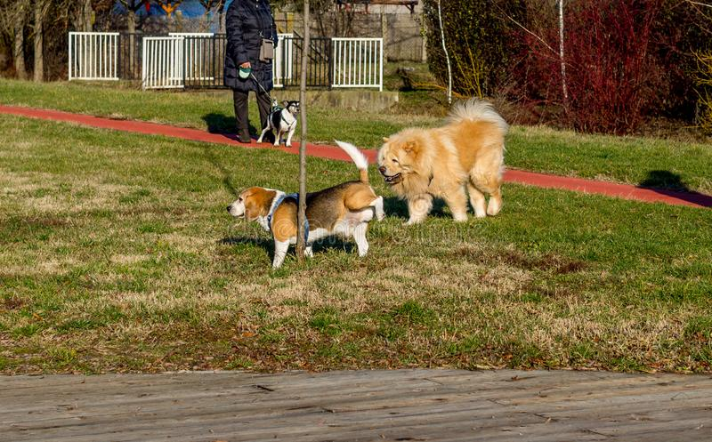 Dogs beagle and chow chow walking in the park. Beagle dog peeing on a tree. royalty free stock photo