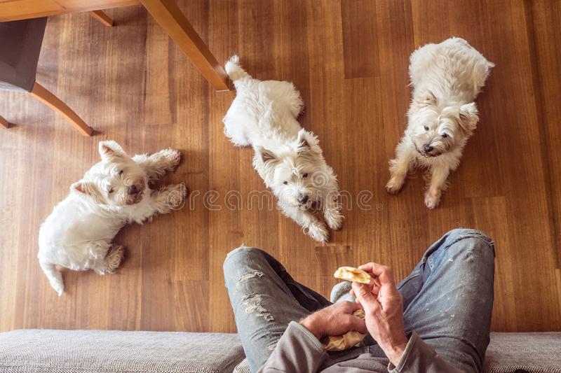 Dogs begging for food: three hungry west highland white westie t. Dogs begging for food: pack of three hungry west highland white westie terriers watching man stock images