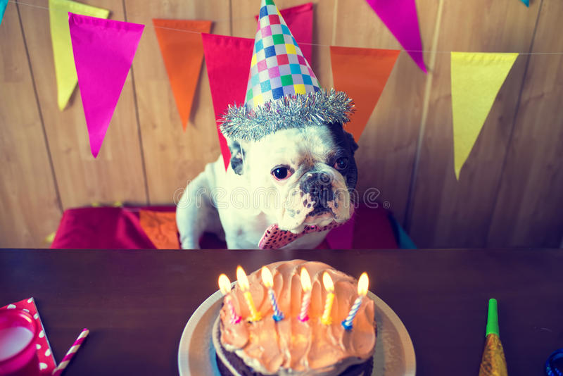 Dogs on birthday party. Dog of race French bulldogs on birthday party stock image