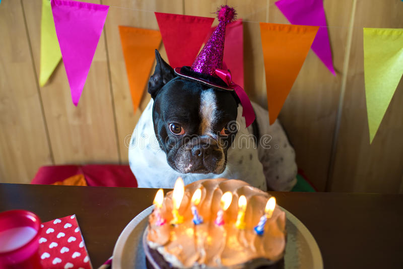 Dogs on birthday party. Dog of race French bulldogs on birthday party royalty free stock photography