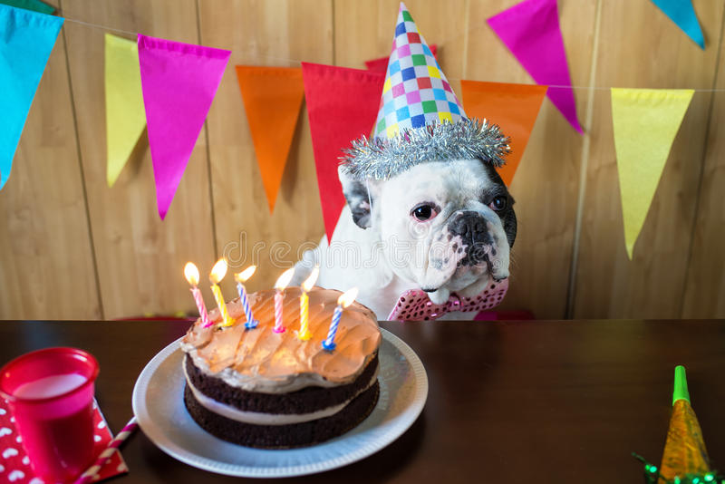 Dogs on birthday party. Dog of race French bulldogs on birthday party royalty free stock image
