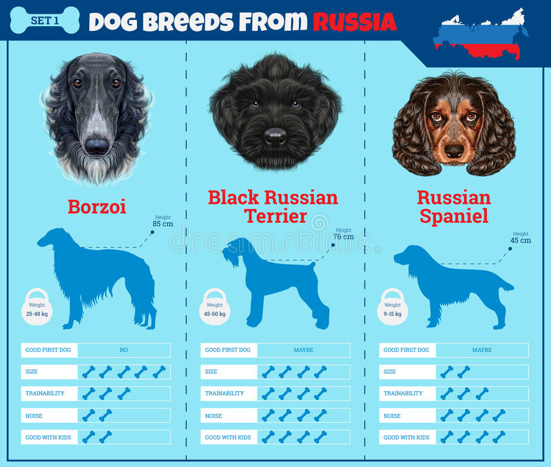 Dogs breed infographics types of dog breeds from Russia. Breed Set 1 - Borzoi, Black Russian Terrier, Russian Spaniel vector illustration