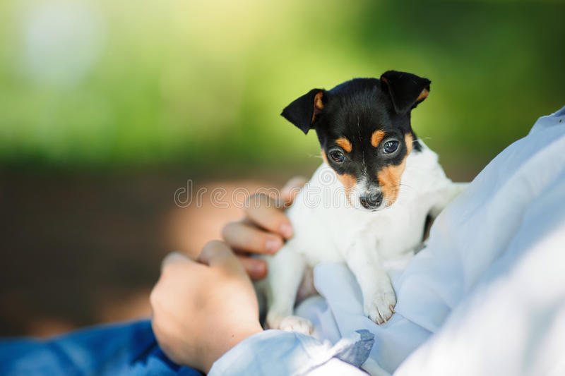 Dogs breed Toy fox terrier puppy. Little puppy breed Toy fox terrier in the summer the park on the green grass royalty free stock photos