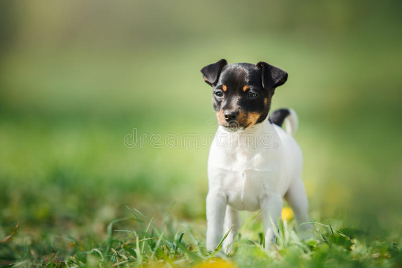 Dogs breed Toy fox terrier puppy royalty free stock photos
