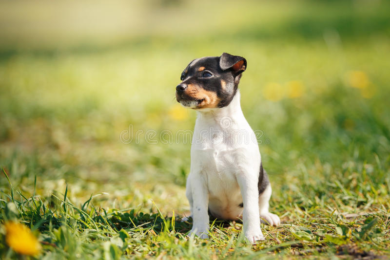 Dogs breed Toy fox terrier puppy. Little puppy breed Toy fox terrier in the summer the park on the green grass royalty free stock images