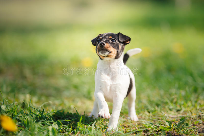 Dogs breed Toy fox terrier puppy. Little puppy breed Toy fox terrier in the summer the park on the green grass stock images