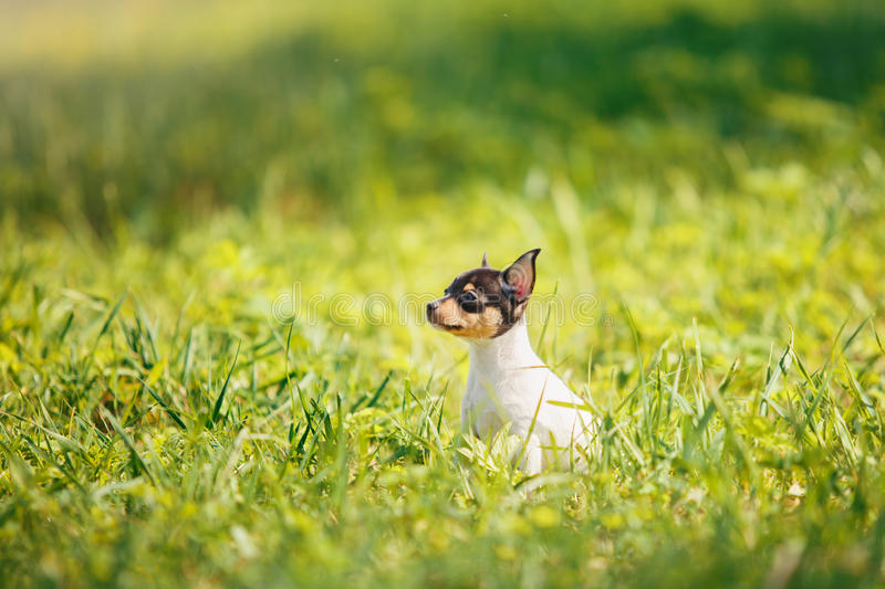 Dogs breed Toy fox terrier puppy. Little puppy breed Toy fox terrier in the summer the park on the green grass royalty free stock photo