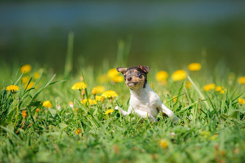 Dogs breed Toy fox terrier puppy royalty free stock images
