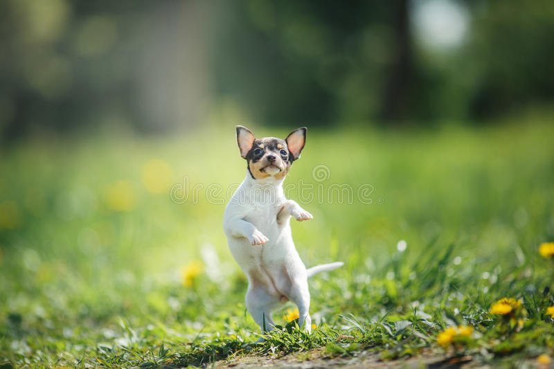 Dogs breed Toy fox terrier puppy. Little puppy breed Toy fox terrier in the summer the park on the green grass royalty free stock photography
