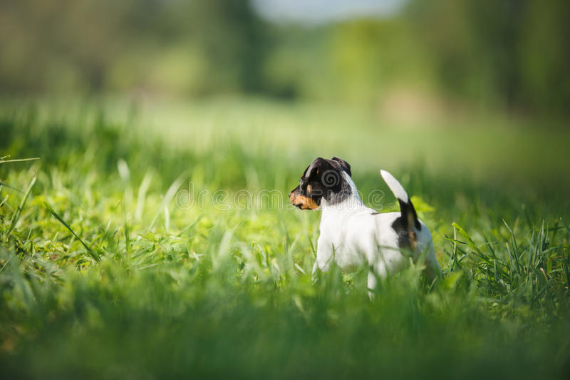Dogs breed Toy fox terrier puppy. Little puppy breed Toy fox terrier in the summer the park on the green grass royalty free stock image