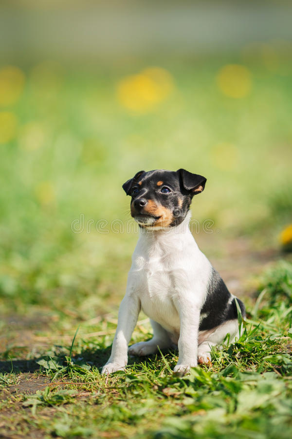 Dogs breed Toy fox terrier puppy. Little puppy breed Toy fox terrier in the summer the park on the green grass stock image