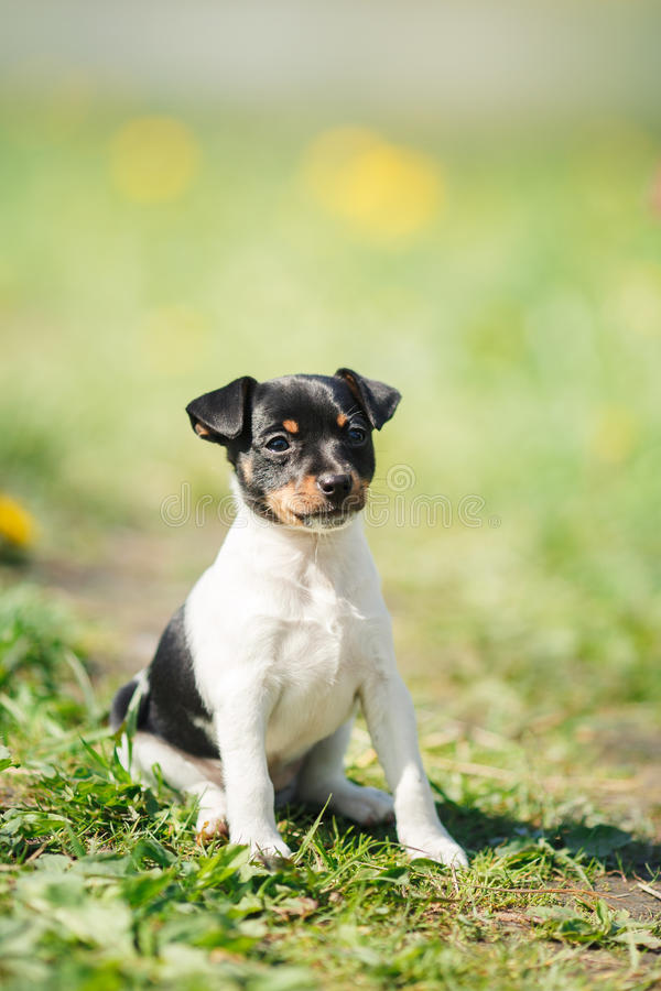 Dogs breed Toy fox terrier puppy. Little puppy breed Toy fox terrier in the summer the park on the green grass stock photography