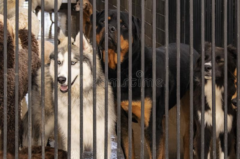 Dogs in a cage - including a Siberian Husky with blue eyes looking wistfully out from behind bars at a doggie daycare stock images