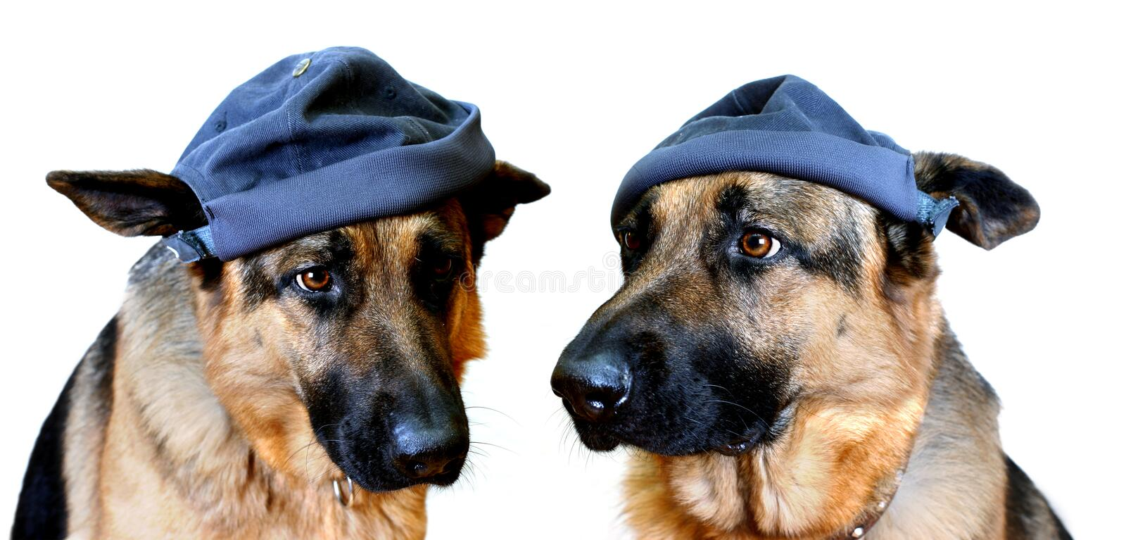 Dogs In Caps. Two dogs (German Shepherds) with caps on their heads. Main focus is on eyes
