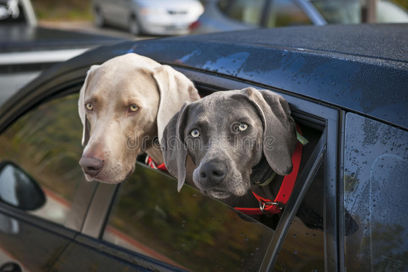 Download Dogs in car stock image. Image of parking, looking, cute - 40065771