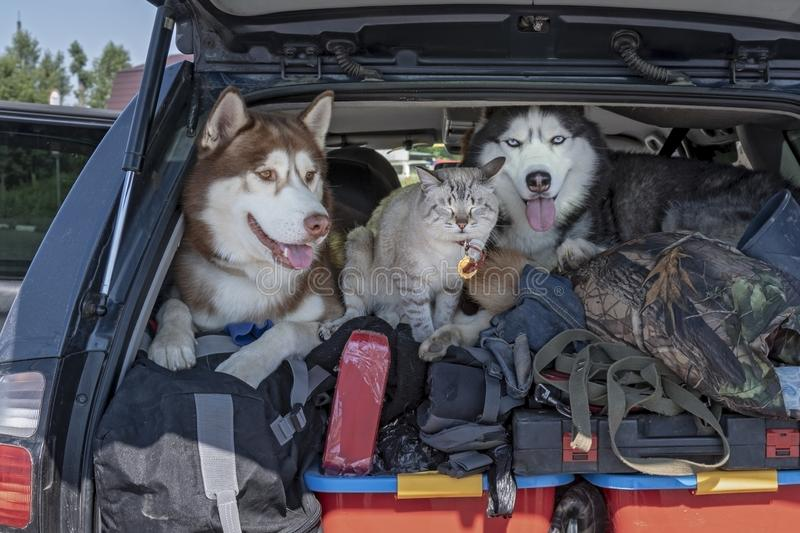 Dogs and cat in the trunk of the car. Concept of travel with animals, transportation of pets. Crowded trunk.  royalty free stock image