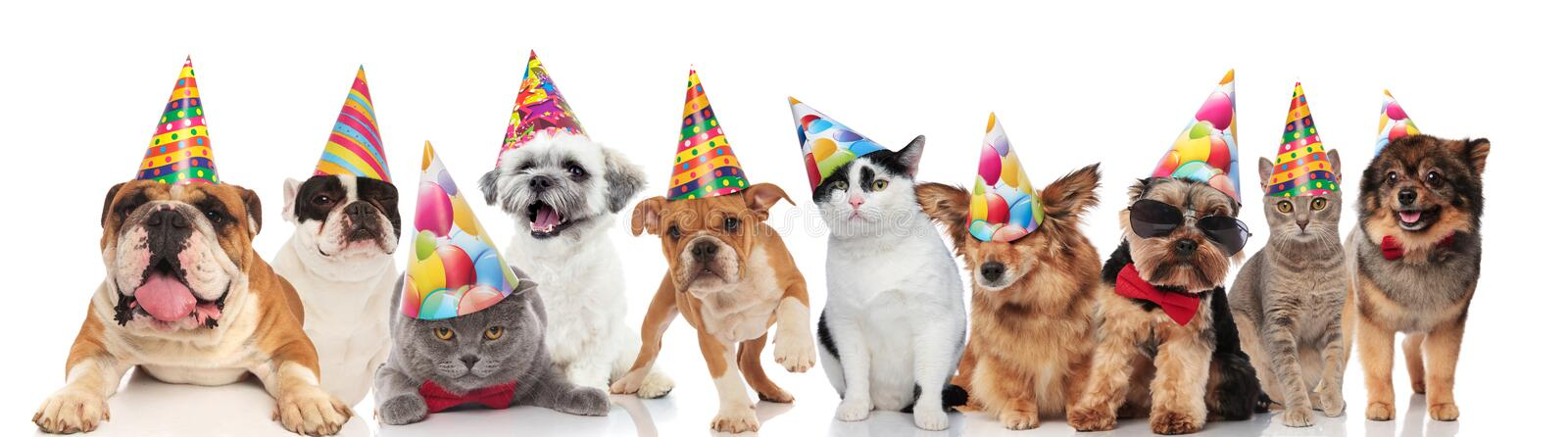 Dogs and cats of different breeds wearing colorful birthday hats. While standing, sitting and lying on white background stock photography