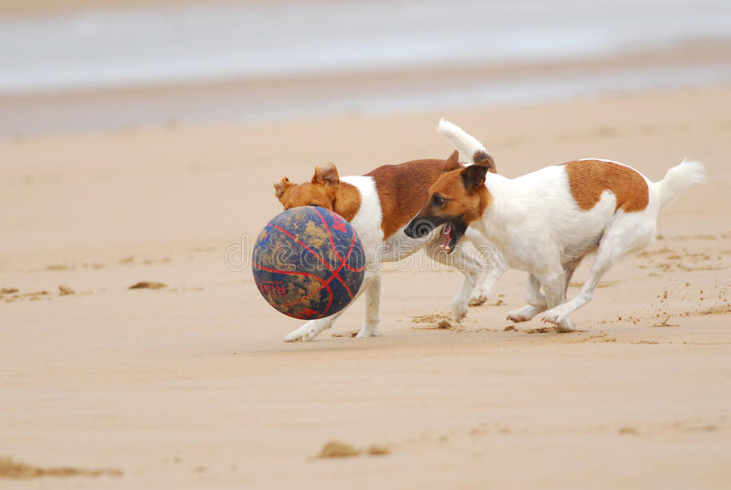 Dogs chasing a ball. Two Jack Russell terriers chasing a basketball on a beach in summer