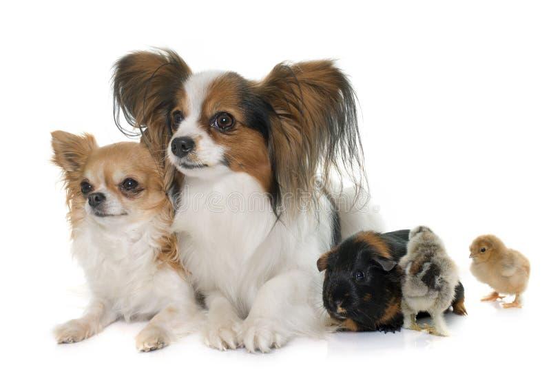 Dogs, chicks and guinea pig stock photos