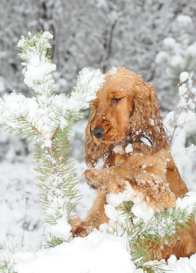 Dogs Chrismas royalty free stock image