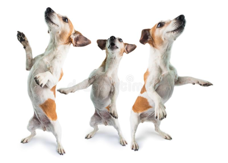 3 dogs dancing. Dancing 3 dogs collage surprised dog is standing on its hind paws. Funny pet theme. White background. Party hard royalty free stock photos