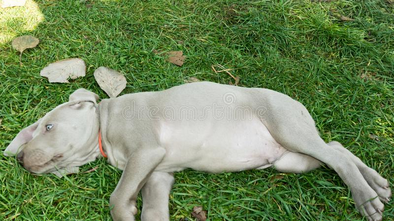 Dog doggy breed weimaraner pet royalty free stock images