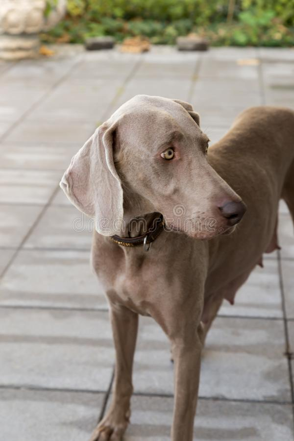 Slipping dogs doggy breed weimaraner pets animals royalty free stock image