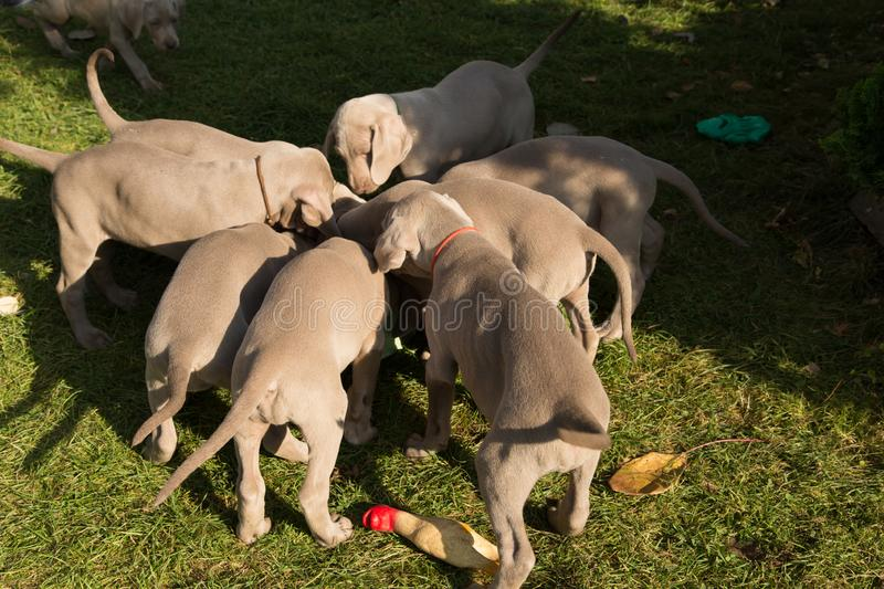 Dogs doggy breed weimaraner pet animals stock images